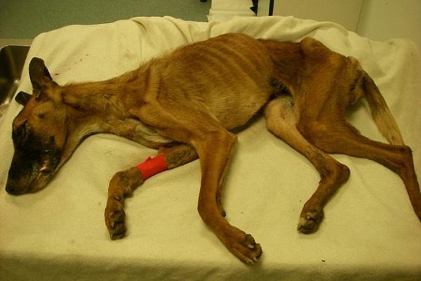 Chú chó chỉ còn da bọc xương do bị chủ bỏ đói trong thời gian dài. Ảnh: Internet
