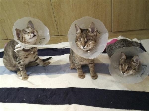 Ba chú mèo sau khi được phẫu thuật loại bỏ mắt khi mắt của chúng trong tình trạng bị nhiễm trùng, viêm đỏ và mưng mủ. (Ảnh: The Dodo)