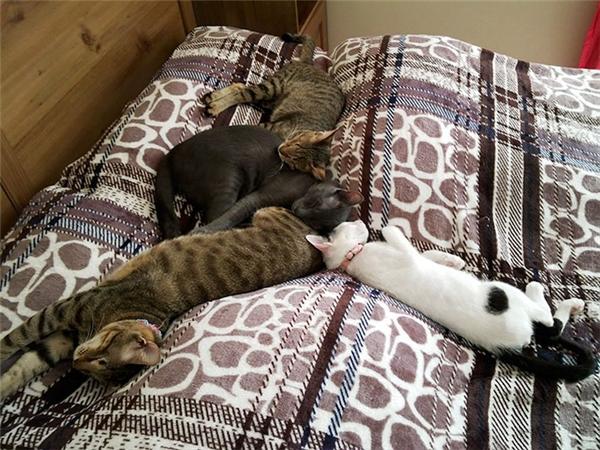 Ba anh em mèo mù bên cạnh một người bạn mèo khác trong mái ấm hiện tại. (Ảnh: The Dodo)