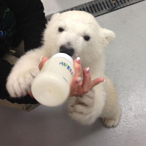Và đâymới là kích thước thực sự của một em bé gấu Bắc Cực.