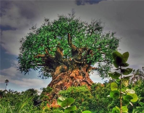 Cái cây này từng được kể là một loài cây bí ẩn ở Ấn Độ hay châu Phi.