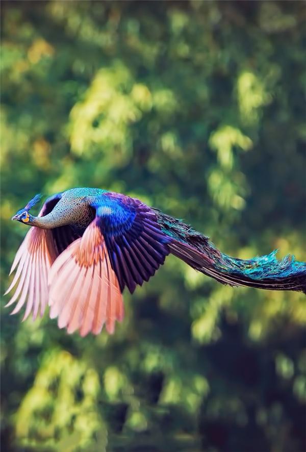 Một con công đang bay với đôi cánh đẹp tuyệt mĩ.