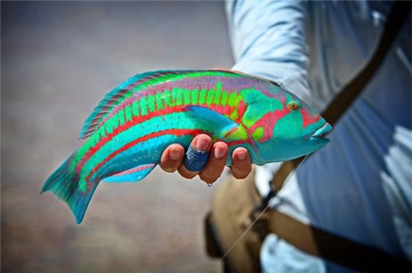 Người dân làng chài hẳn sẽ rất bất ngờ khi tình cờ bắt được con cá sặc sỡ này.