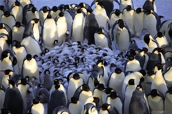 Họ hàng nhà cánh cụt không chỉ quây quầngiữ ấm cho các bé mới nở mà có lẽ cònhọp hội nghị đề ra phương pháp chăm nuôi các bé cho thật tốt.