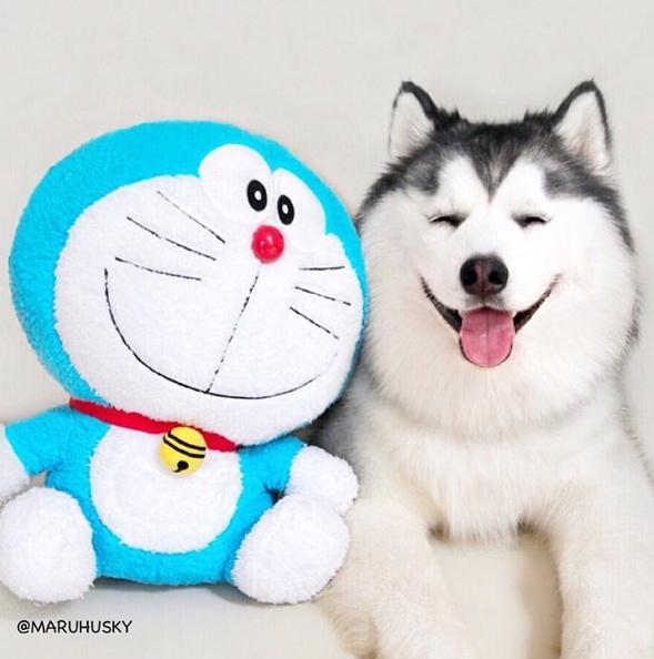 """Maru không ngại ngần """"đọ sắc"""" và vượt mặt mèo máy Doraemon nổi tiếng thế giới."""
