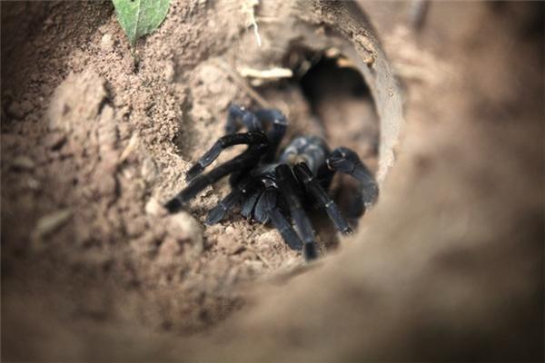 Loài nhện xấu xí, đáng sợ có mặt ở khắp mọi nơi trong thị trấn.
