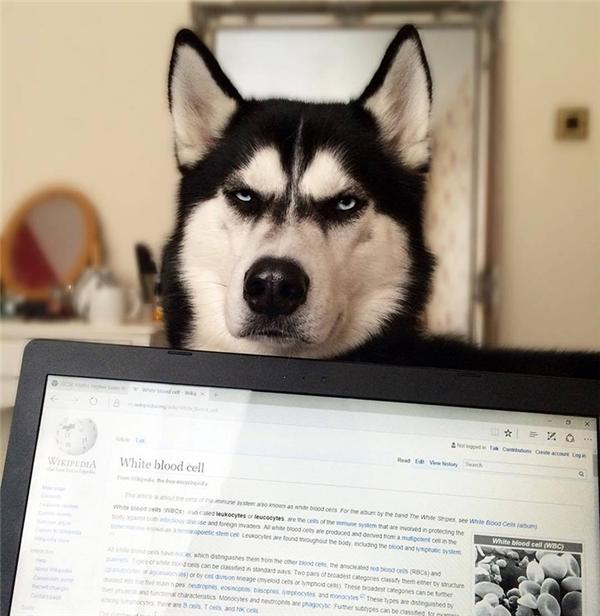 Em Husky nổi với vẻ mặt bị phản bội kiếm gần 600 triệu học phí cho chủ