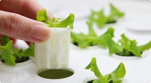 Thiết bị nàygiúp bạn trồng rau sạch mà không cần đến đất trồng. (Ảnh: internet)