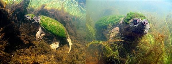 Cơ thể của chú rùa biển này đang mọc đầy các đám rêu.