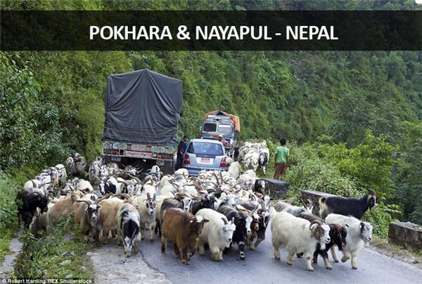 Giữa hai thành phố Pokhara và Nayapul ở Nepal, từng đàn gia súc và động vật hoang dã còn tranh đường đi với xe cộ và người. Tất nhiên phe nào đông hơn thì thắng.