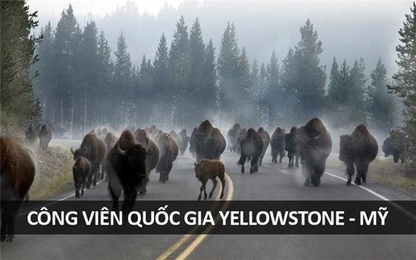 """Buổi sáng """"giao thông"""" tấp nập tại Công viên Quốc gia Yellowstone, Wyoming, nước Mỹ."""