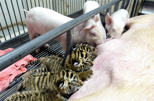 Mẹ lợn đang cho bầy hổ con bú.