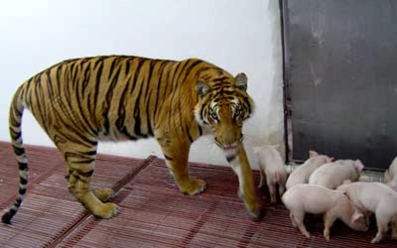 Hổ mẹ không cho phép ai bắt bầy con đi.