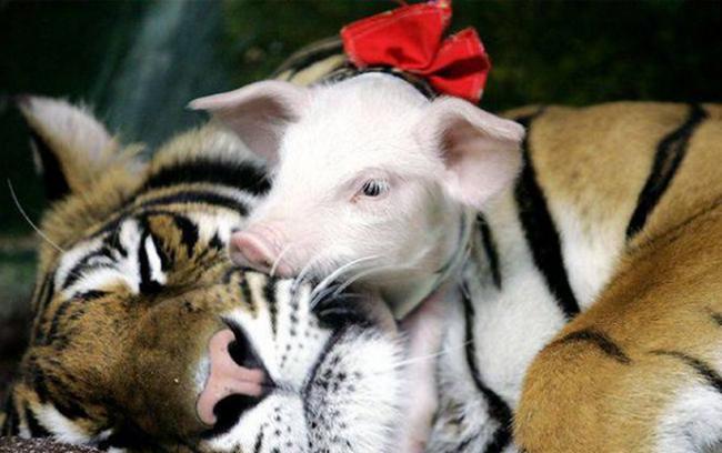 Lợn con tặng cho mẹ một nụ hôn rất đỗingọt ngào.