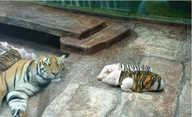 Mẹ hổ nằm ngủhạnh phúcbên cạnh bầy con yêu.