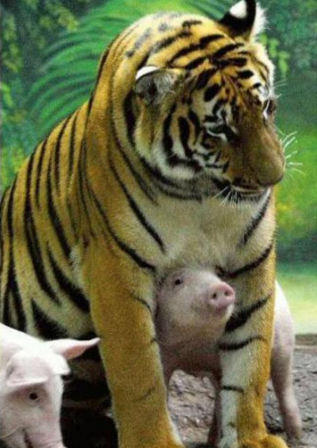Lợn con rất thích đùa giỡn vớimẹ hổ.