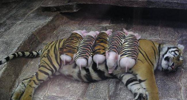 """Bụng của mẹ hổ chínhlà """"tấm nệm"""" êm ái nhất đối với bầy lợn con."""