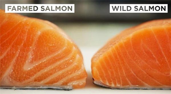 Cá hồi nuôi bên trái, cá hồi tự nhiên bên phải. (Ảnh: Internet)