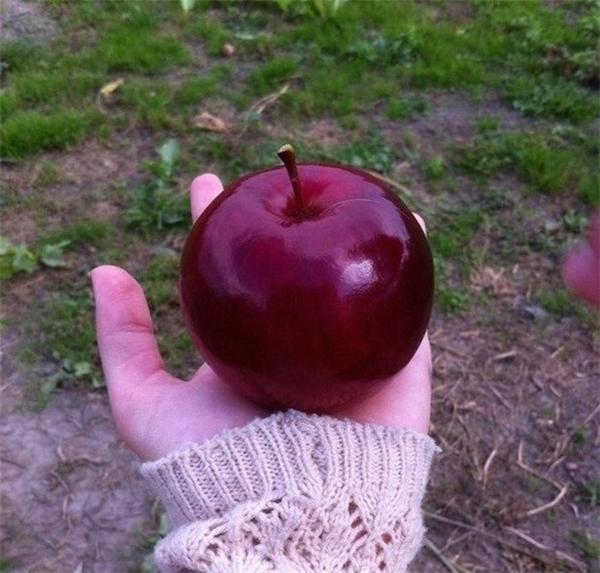 """Quả táo """"Bạch Tuyết"""" này đẹp nhưng mà không có độc đâu nhé."""
