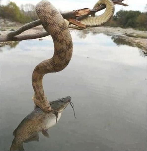 Chắc chỉ thêm 3 giây nữa thôi là chúcá tội nghiệp sẽ nằm gọn trong dạ dày của con rắn hung ác.