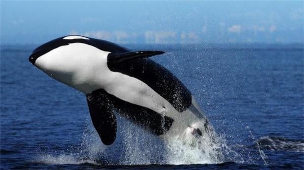 Cá kình được biết với tên gọi Cá voi sát thủ và được nhận dạng với hai màu đen trắng đặc trưng.