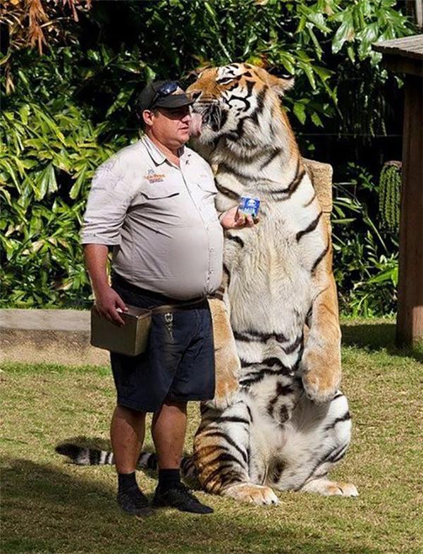 Mặc dù sở hữu thân hình to lớn đáng sợ nhưng chú hổ lại vô cùng hiền lành, dễ bảo. Chắc em ý mình là một chú mèo to xác nên mới vô tư làm nũng ông chủ thế này.
