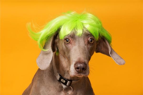 Sau này chọn màu tóc phải phù hợp với... màu lông nghe chưa?