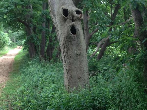 """""""Sống lâu thành cổ thụ"""", cây xanh nàycó cả mắt và mồm luôn rồi."""