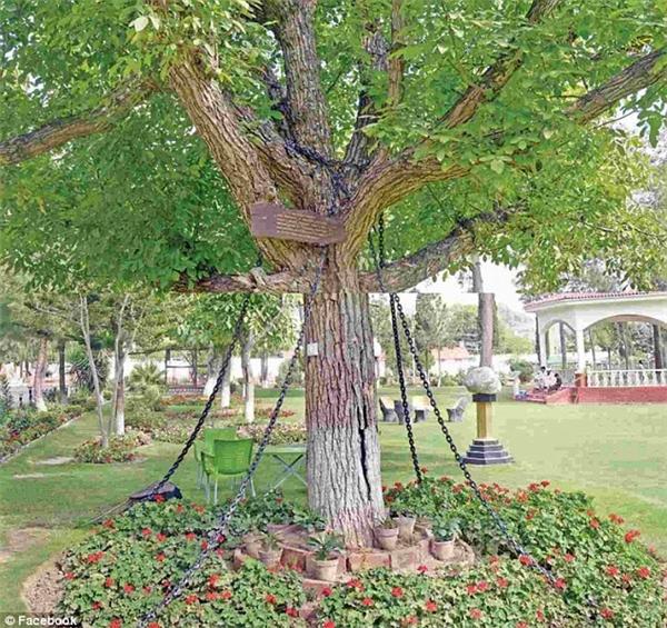 Cái cây tội nghiệp bị trói suốt 118 năm qua.