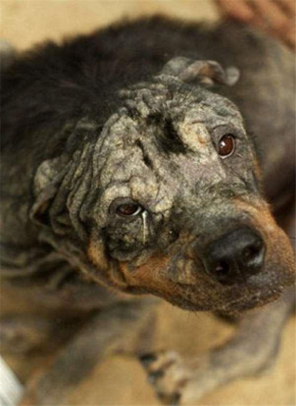 Lúc được phát hiện chú chó gầy đến trơ xương, nhiều vết thươngnhiễm trùng nghiêm trọng.Tình hình chú chó khi đó rất xấu và dường như đã mất hết ý chí của sự sống.