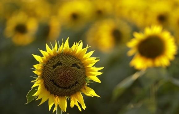Một đóa hướng dương mặt cười trong cánh đồng hoa ở Lawrence, tiểu bang Kansas, Mỹ. Cánh đồng gần 162 nghìn m2 này được trồng bởi gia đình Grinter, hàng năm thu hút hàng nghìn du khách trong suốt tuần hoa hướng dương nở vào cuối hè. Ảnh: AP