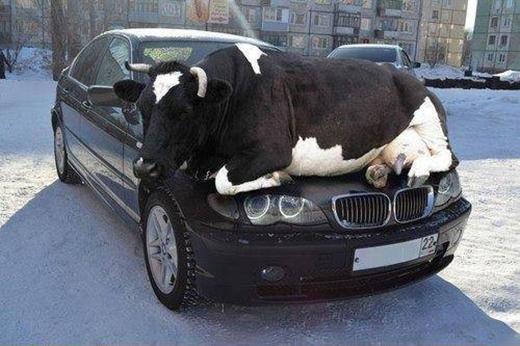 Chiếc xe mình tốn bao nhiêu năm trời làm lụng mới mua được để cho bò nó nằm sưởi nắng à?!
