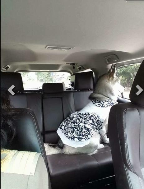 """Chú cún cưng này đã tạo nên cơn sốt sau khi được """"cùng mẹ đi dạy""""."""