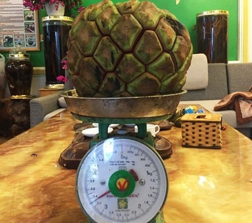 Một quả na rừng có cân nặng trung bình khoảng 2kg, có quả nặng đến tận 5kg.