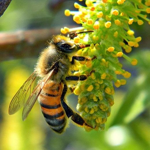 Nhiều người đi hái na rừng nếu không cẩn thận sẽ bị ong rừng chích.