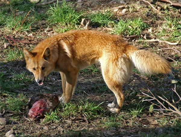 Chó dingo vô cùng hung dữ, chúng có thể xuống biển bắt cá mập ăn thịt, thậm chí tấn công cả gia súc, kangaroo và người.
