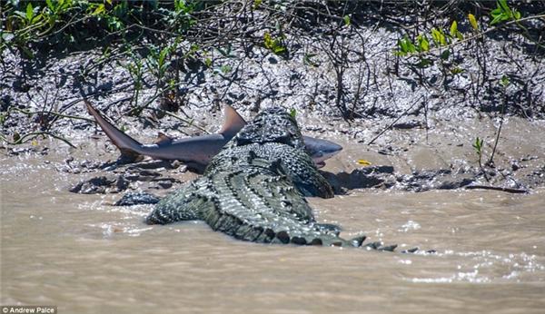 Rồi đụng độ với cá sấu. Bạn nghĩ con nào sẽ thắng?