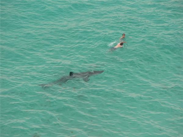 Cá mập thì không thích chỉ bơi ngoài biển, đôi khi chúng sẽ nổi hứng bơi ngược vào sông và đầm lầy.