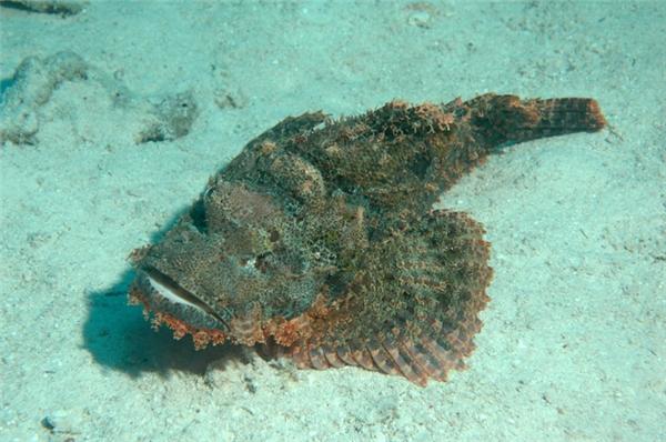 Cá mặt quỷ thường nấp dưới đáy biển, nhìn từ xa trông không khác nào một tảng đá.
