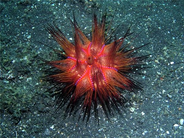 Nhím biển lửa là một loài nhím biển khá độc, mang đàu đỏ rực rỡ như lửa, xen lẫn là những đốm xanh trông rất nguy hiểm. Đường kính cơ thể chúng có thể lớn đến 20cm.