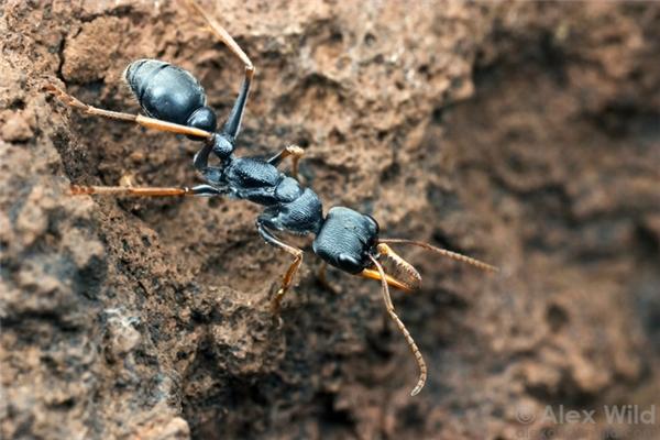 Con kiến này rất nhỏ bé, có tên là kiến nhảy.