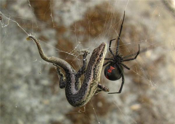Nhện lưng đỏ cực độc có ở khắp mọi nơi trên đất Australia. Chúng độc và dữ tợn đến nỗi những con như chuột hay thằn lằn đều làm mồi cho chúng.