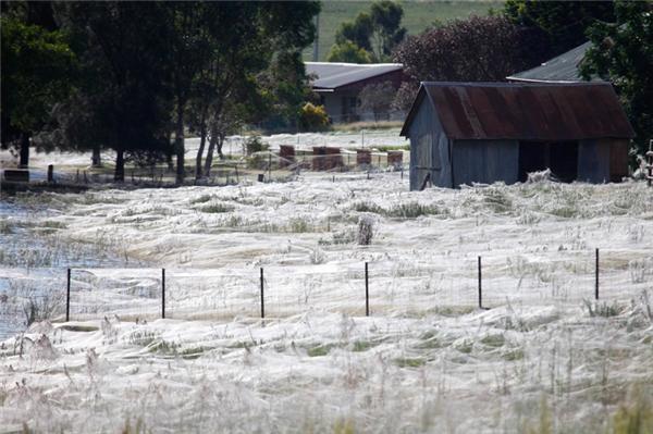 Vào tháng 5 và tháng 8 hàng năm, lũ nhện ở đất nước này sẽ dở chứng và chọn cách di chuyển trên không. Chúng sẽ phóng tơ vào các cành cây ngọn cỏ rồi nương theo gió, phóng vù vù như chim bay phía trên các nóc nhà và các cánh đồng.