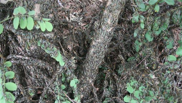 Người dân Australia sẽ thường xuyên chứng kiến cảnh hàng đàn lũ bọ chiến binh tấn công vườn cây của mình, mỗi đợt như vậy có đến 10.000 con lúc nhúc trông rất đáng sợ.