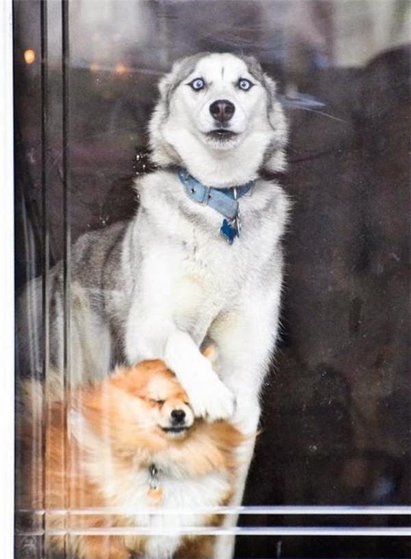 """Husky :""""Trời ơi con sen nó mang con con mèo về nhà kìa Cam. Đừng lo, anhsẽ bảo vệ mày trước móng vuốt của nó"""". Cam: """"Mày bỏ cái tay khỏi mặt tao rồi nóiđồ chó""""."""