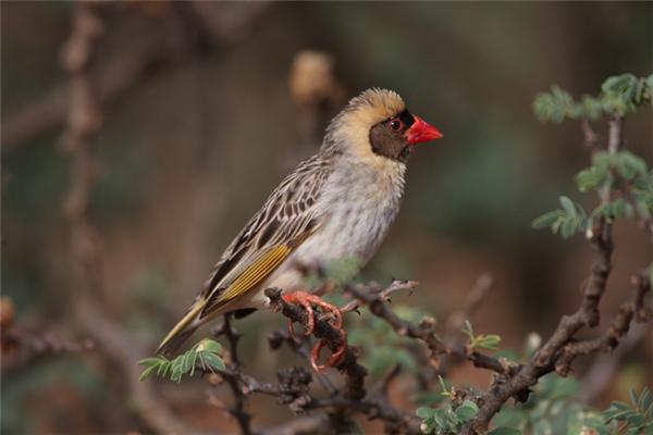 Đây là một con rồng rộc mỏ đỏ, loài chim hoang dã được xem là đông đúc nhất trên toàn thế giới với số lượng ước tính 1,5 tỷ đôi.