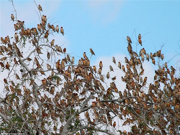 Dù cơ thể nhỏ bé, mỗi con chỉ nặng khoảng 10gr, nhưng nếu kết hợp lại, một bầy rồng rộc mỏ đỏ có thể khiến cho một cành cây lớn gãy đôi.
