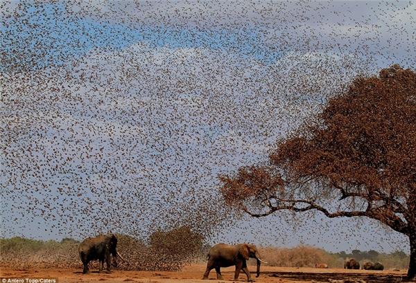 Và khi chúng tập trung bay theo bầy đàn thì cảnh tượng trông vô cùng dễ sợ.