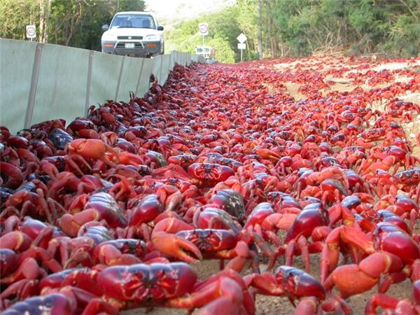 Với số lượng lên đến 40 đến 120 triệu con, đoàn quân cua đỏ này giống như một tấm chăn khổng lồ phủ kín mọi con đường trên đảo.