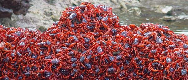 Thông thường, cua đỏ chỉ sống trong các hang đào dưới đất trong rừng để tránh nắng.